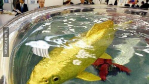 """พบ """"ปลาทอง""""เป็นๆ ทองแท้ๆ ไม่ใช่แค่สี.. แถมมันดันมีส่วนผสมของของสิ่งนี้อยู่ด้วย!?"""
