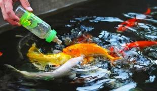 """ทำดีย่อมได้ดี!!! อานิสงค์ของการให้อาหารปลา """"มัฉทานชาดก"""""""
