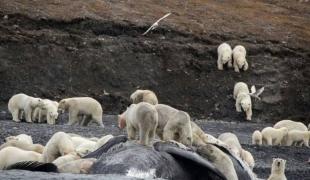 อีกหนึ่งสัญญาณโลกร้อน หมีขั้วโลกหลายร้อยรวมตัวบนเกาะในอาร์กติก