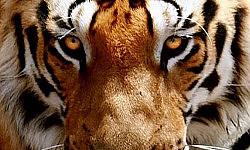 ประวัติหลวงปู่มั่น ภูริทัตโต90ภาวนาสู้เสือ