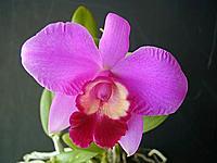 thaiorchid