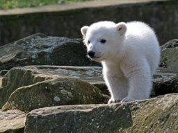 PP-Polarbear