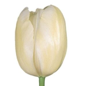 White French Tulip Flower 300