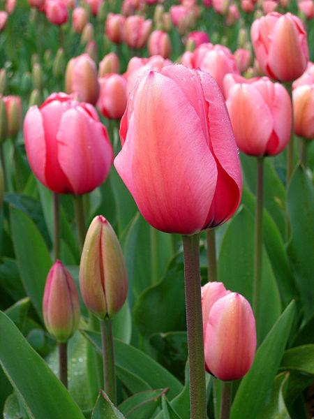450px Tulip   floriade canberra