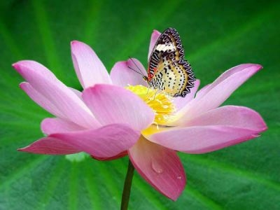 lotus and butterfly