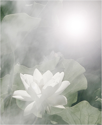 white lotus in the mist