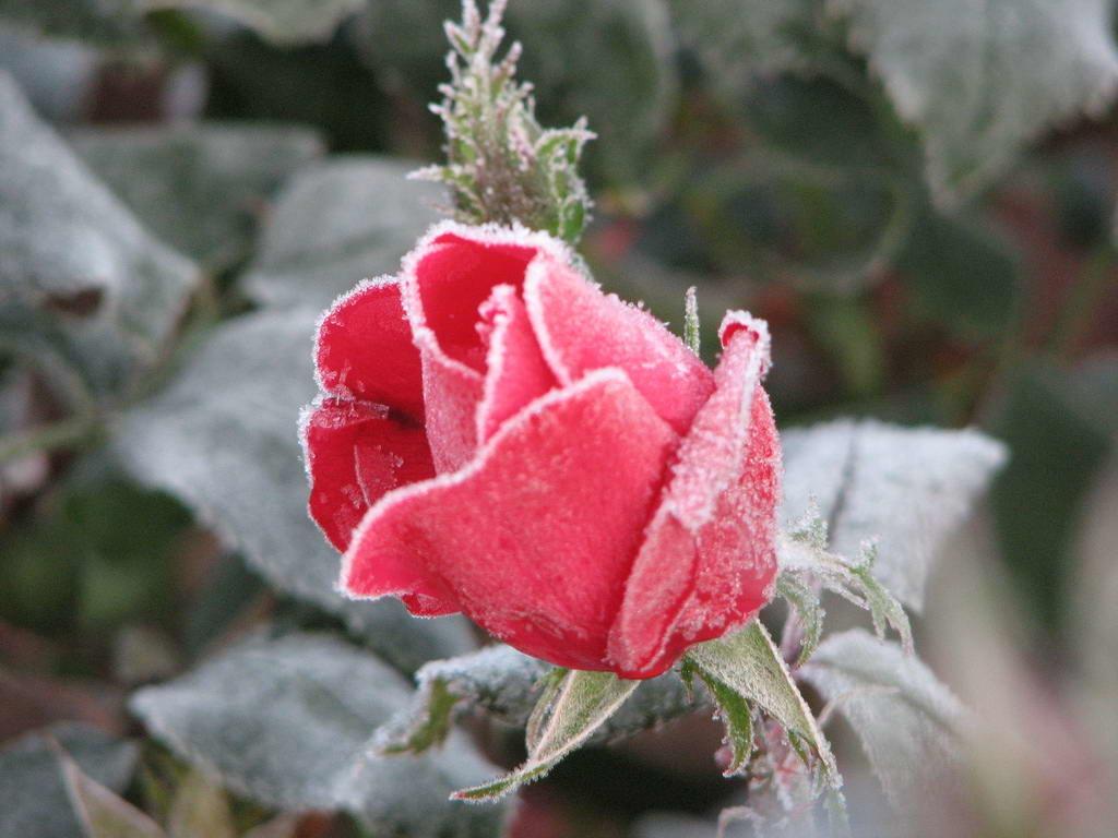 แม่คะนิ้ง Red Rose