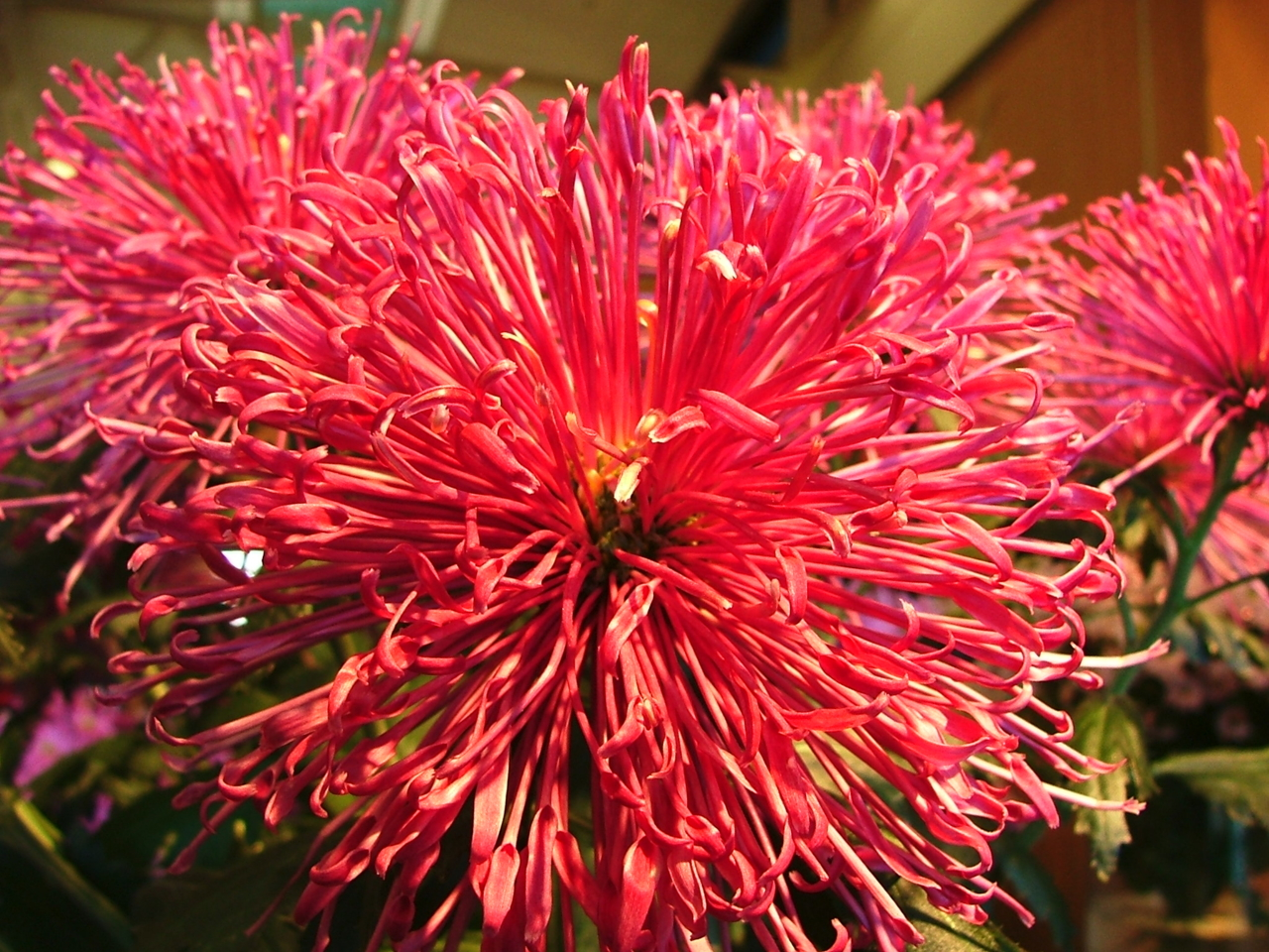 DSCF1473 ดอกไม้ชนิดนี้เหมือน ดอกเข็มบ้านเรานะ..