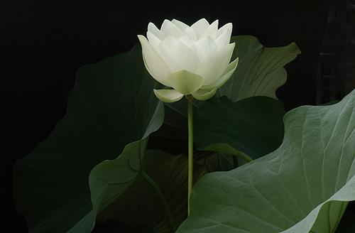 whitelotus2