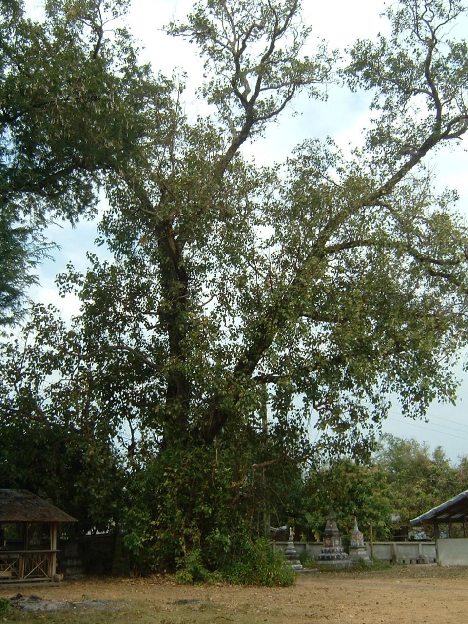 ต้นไม้ต้นใหญ่มาก