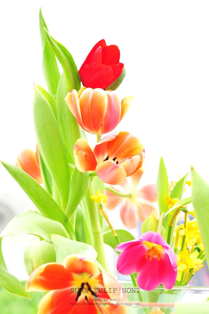 ดอกทิวลิปDSC 6047