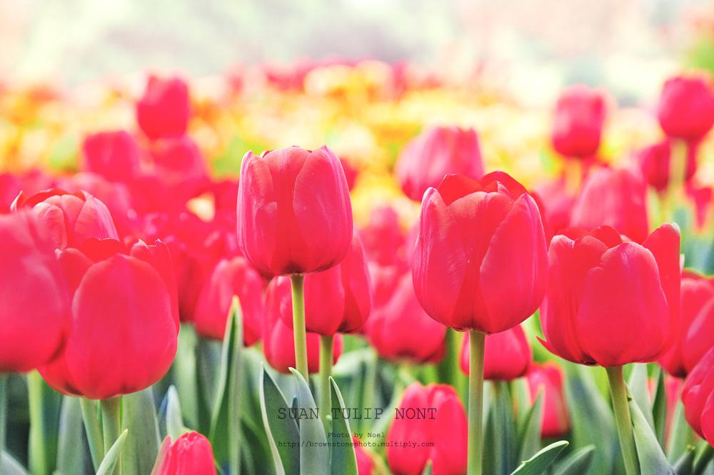 ดอกทิวลิปDSC 6102r1