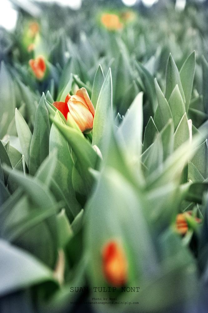 ดอกทิวลิปDSC 6134