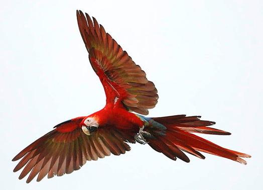 scarlet macaw  ara macao 4