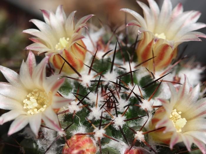 ดอกตะบองเพชร