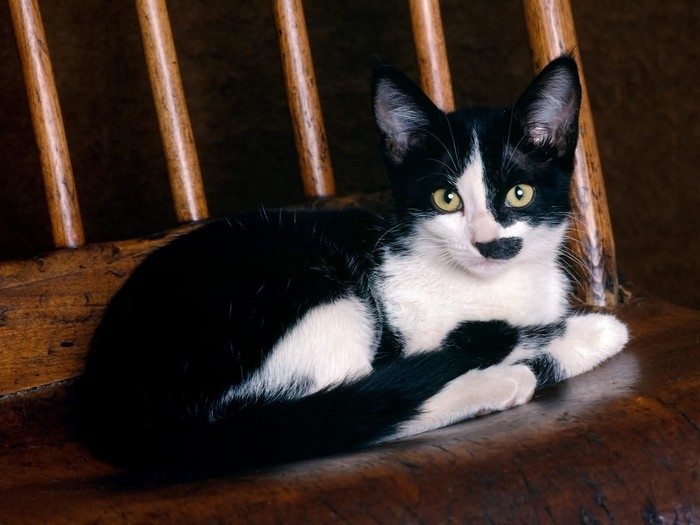 Black and white shorthair