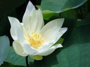 lotus 16