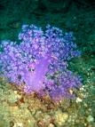 ดอกไม้ทะเล