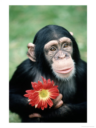378778~Chimpanzee Holding a Red Flower Posters