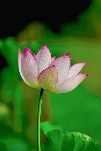 lotus232