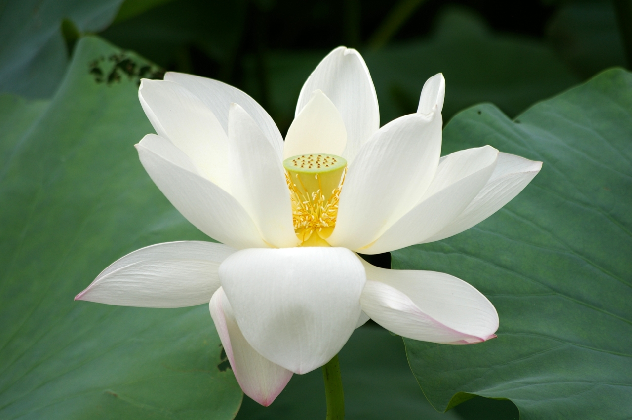 Lotus 3006