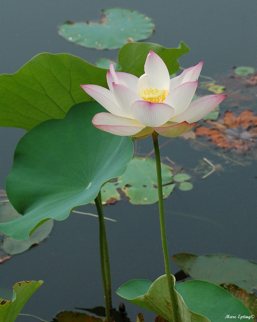 Lotus 3022