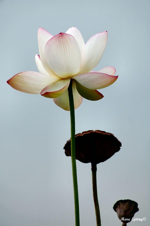 Lotus 3036
