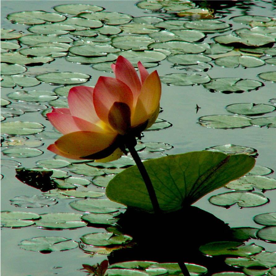Lotus 3044