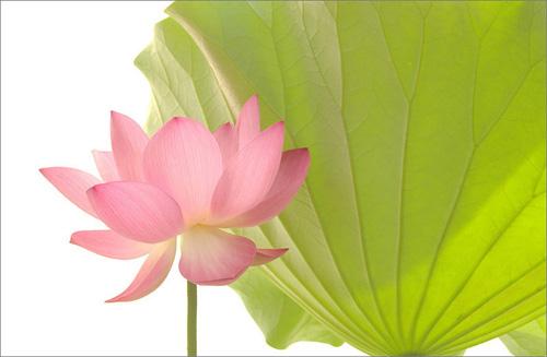 Lotus 3104