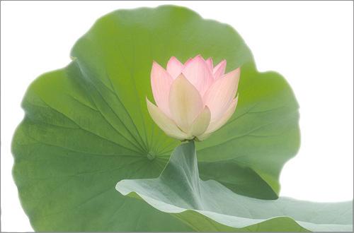 Lotus 3108