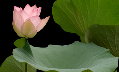 Lotus 3116