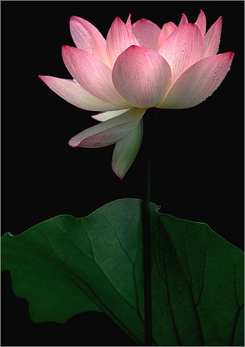 Lotus 3114