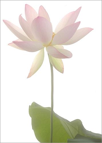 Lotus 3126