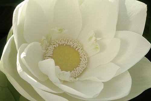 Lotus 3134