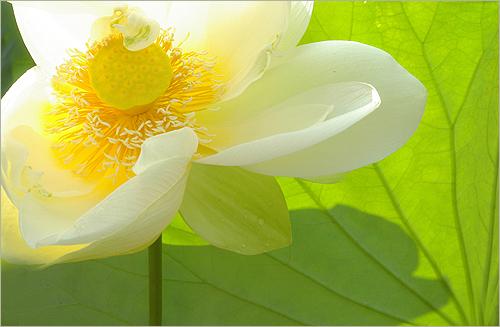 Lotus 3138