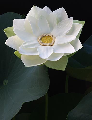 Lotus 3140