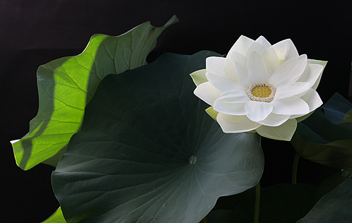 Lotus 3142
