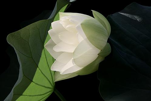 Lotus 3146