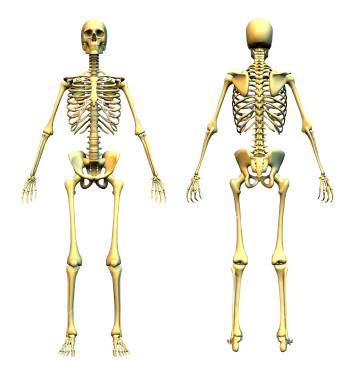 ist2 454953 human skeleton front and back