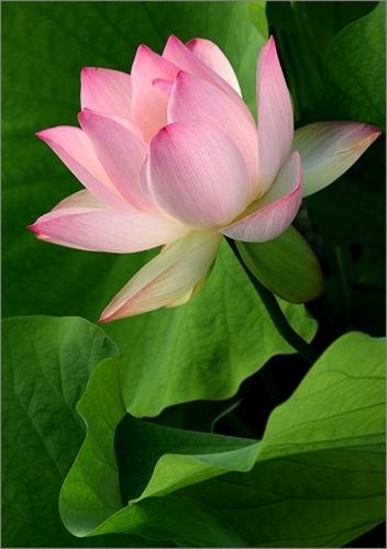 Lotus 3166