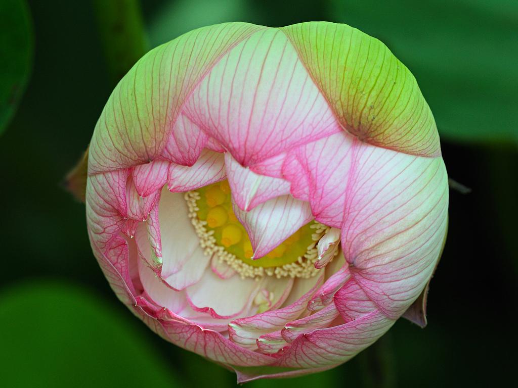 Lotus 3182