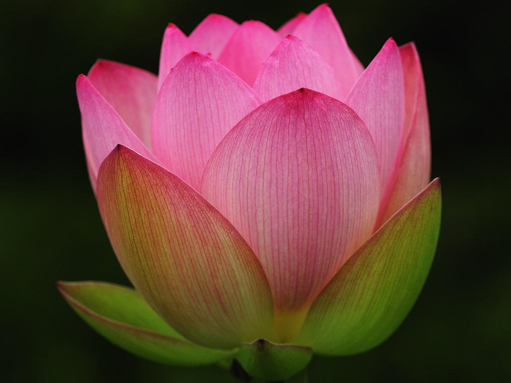 Lotus 3194
