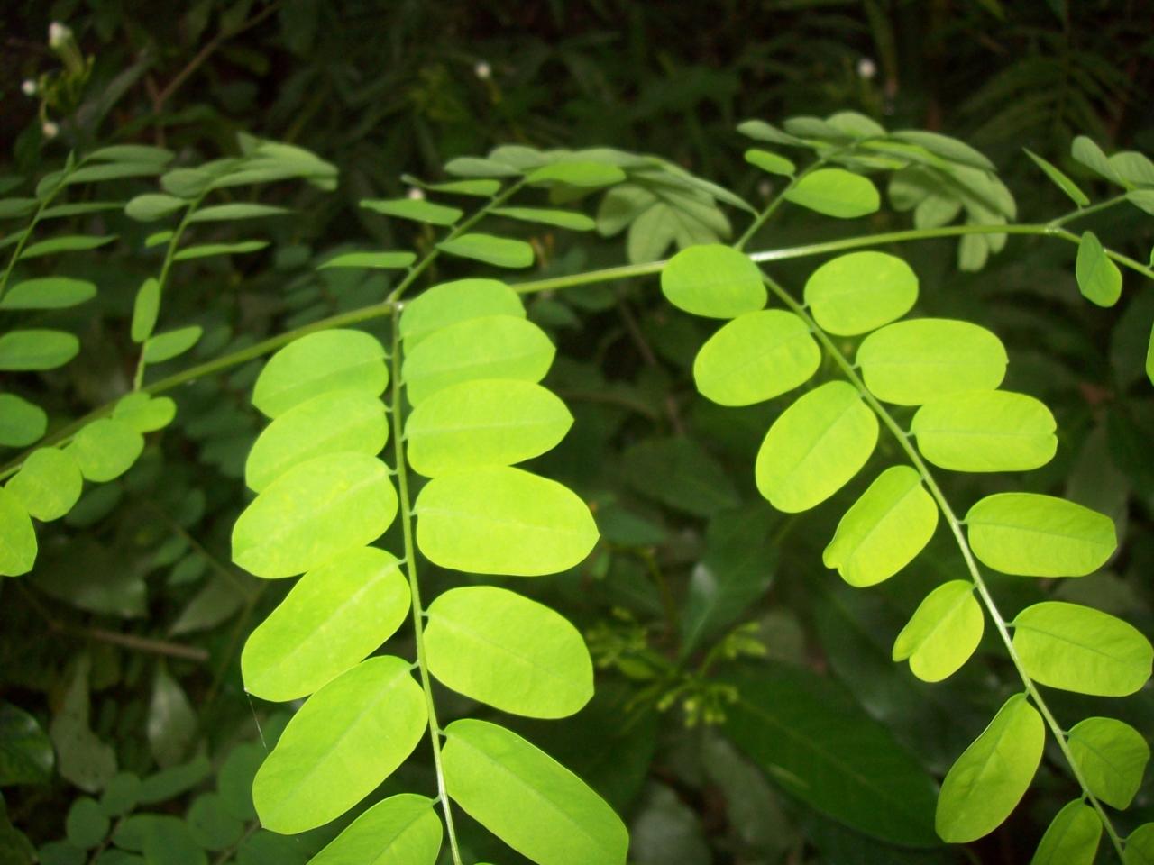 ติง ปโท ต้นไม้ 038