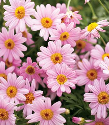 argyranthemum molimba pink