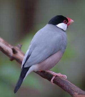 300px Buberel Unknown bird 3