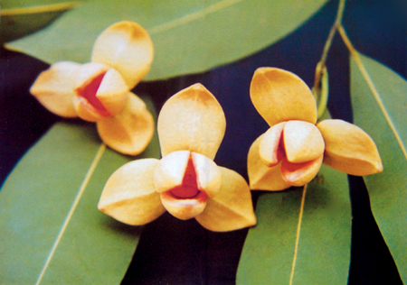 a8copyดอกไม้ประจำชาติ กัมพูชา