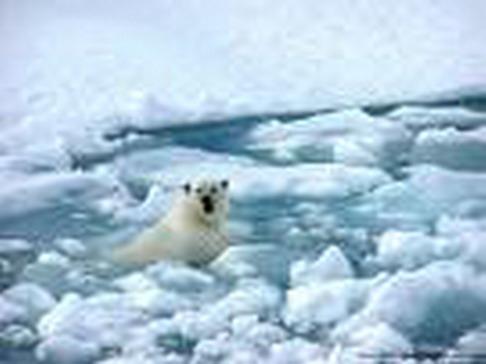 polarbearswims