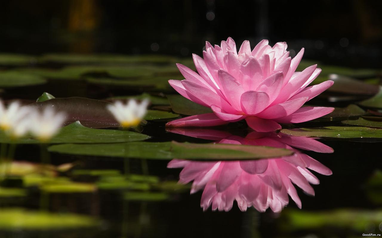 Water Lily Wallpaper nature flower rose lotus petals Lake beauty tenderness