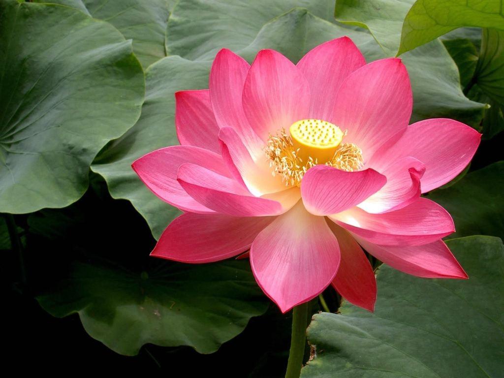 pink lotus 1024x768