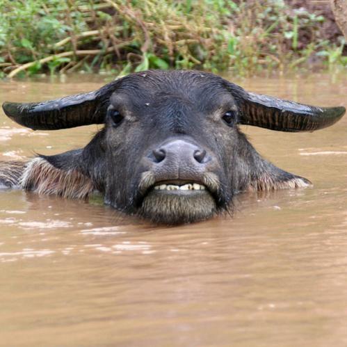 laos buffalo photo by natmanda